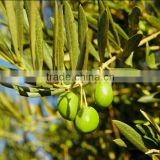 Water Soluble Oleuropein Powder of Olive Leaf Extract