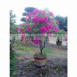 Medium size bougainvillea for nursery plant