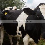 Live Dairy Cows and Holstein Cows for Sale