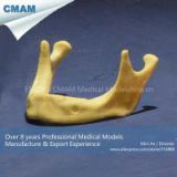 Human Dental Teaching Model