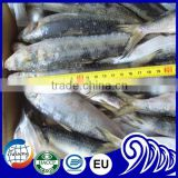 Frozen Sardine Fish With Vegetable Oil