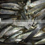 Frozen Sardines (Sardinella Longiceps) for bait and canning