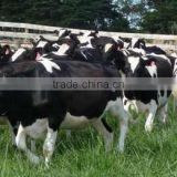 Live Dairy Cows and Pregnant Holstein Heifers Cows