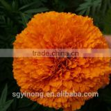 Hybrid F1 pigment marigold seeds deep orange F1