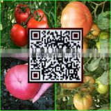 China's shandong province, the best fresh tomato/tomato, exported to Europe and America, southeast Asia and India