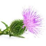 Milk thistle extract-silymarin 80%
