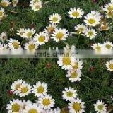 Pyrethrum Extract 50% oil