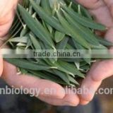Cosmetic material Olive Leaf Extract / olive leaf p.e. powder