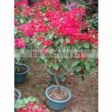 Bougainvillea outdoor bonsai wholesale
