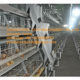 Oman Poultry Farming A Frame Automatic Small Chicken Cage & Poultry Farm Equipment with Drinking & Feeding System for Baby Chick