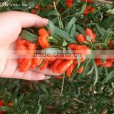 Goji berries plants seeds for sale-from the best goji production place Ningxia