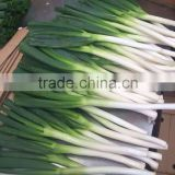 china fresh scallion with long shape