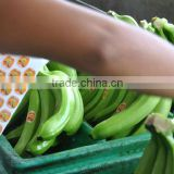 Banana Manufacturers in Ecuador