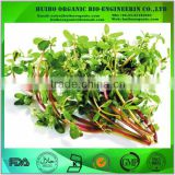 Purslane Extract / Purslane Powder / Portulaca oleracea Extract Powder