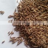 Cumin seed from India