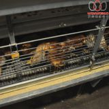Haiti Poultry Chicken Farming - H Type Automatic Chicks Cage System with Automatic Feeding Machine in Brooding Room