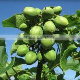 pure jatropha oil for biodiesel