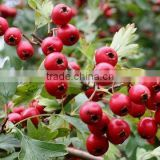 hawthorn berry leaf extract