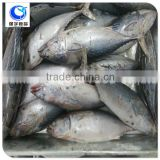 frozen seafood whole round bonito tuna fish with prices