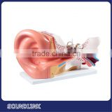 Medical teaching tools plastic human ear anatomy