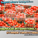 TOP QUALITY HYBRID TOMATO SEEDS ( LESS INPUT & MORE OUTPUT!)