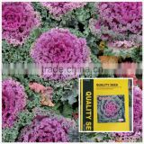Cold resistant pink and green lolor kale seeds