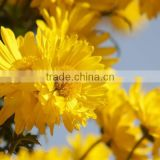 Hot Sale Natural Florists Sendranthema Extract / Chrysanthemum Extract / Flos Chrysanthemum Extract
