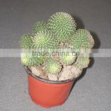 rebutia Minuscula 8.5cm mini cactus succulent ornamental indoor plants nursery echinocactus grusonii cereus cacti bonsai