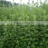 Chinese Herbal Blumea Leaf Extract Blumea Oil