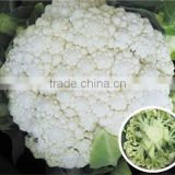Hybrid cauliflower seeds for growing-Soft Sweet 78