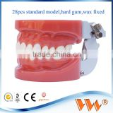 High quality teeth model set/human teeth model/dental model trimmer
