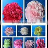 2016 Alibaba online shopping highest grade fresh cut flowers carnations for morther's day