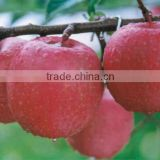 INDIAN RED DELICIOUS FRESH APPLE