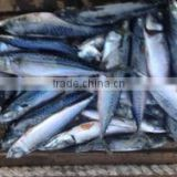 2017 New design hot sale frozen pacific mackerel fish for factory use