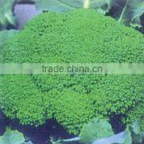 2015 Top Quality F1 Hybrid Green Cauliflower Seeds Broccoli Seeds For Sale
