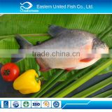 INquiry about wild export pacu fish on sale