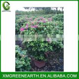 Bougainvillea spectabilis ball shape (1)