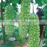 Hybrid Resisting heat Bitter gourd Balsam Pear seeds for growing-Lu Cui 566