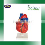 Human Heart Model 3 parts, Anatomical Heart model Image
