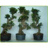 S shaped ficus ginseng microcarpa Taiwan Ficus Banyan Fig Indian Laurel Fig potted bonsai tree indoor plants