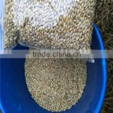 Ukraine barley ,barley seeds animal seeds can makes animal grow up healthy