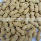 Supply Varied Roasted Peanut in shell with high Quality