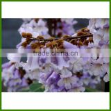 High Quality Chinese Beautiful Flower Tree Paulownia Trees Seeds For Sale