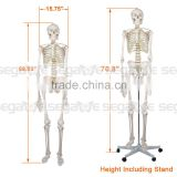 Life Size Anatomical Anatomy Human Skeleton Mode Medical Teaching Aids w/ Movable Stand