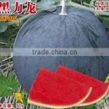 Hybrid seedless black watermelon seeds for growing-black dragon No.2