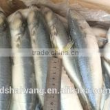 Inquiry about BQF Whole Round Pacific mackerel size 40 - 50 pcs /g