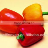 Sweet Pepper 2013 New Crop In China