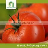 fresh red delicious tomatoes for exporting