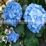 high grade hydrangea flower export from the biggest flower trading center in China