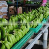 AAA Grade Premium Quality Ecuador Origin Fresh Green Cavendish Banana Satisfaction Guarantee